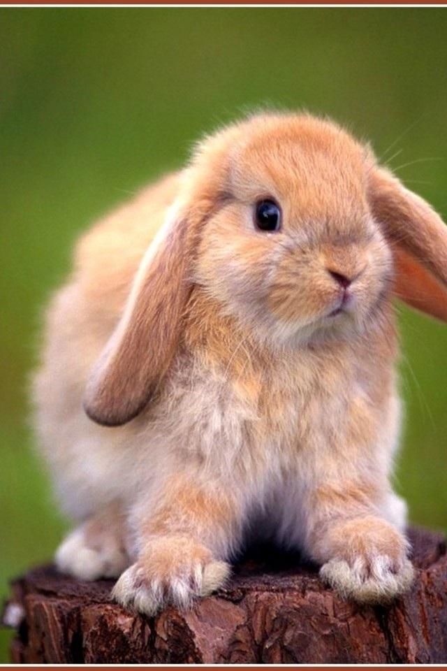 蹦蹦小兔 动物 苹果手机高清壁纸 640x960 - 足球分析