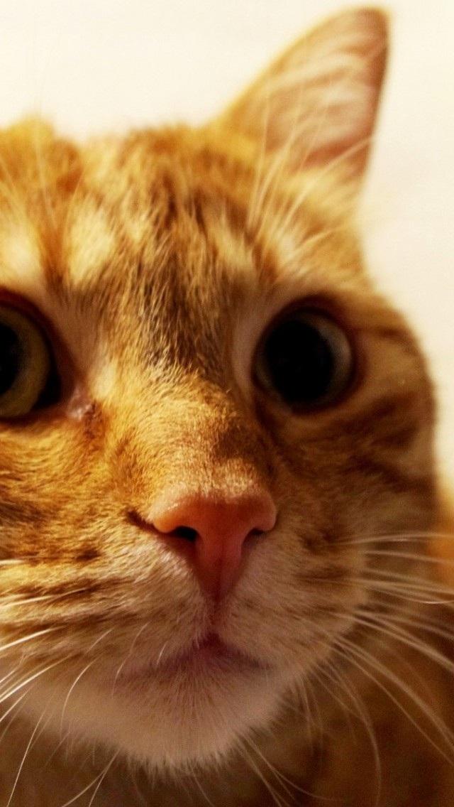动物高清壁纸10271755 可爱猫咪 动物壁纸 苹果手机 x