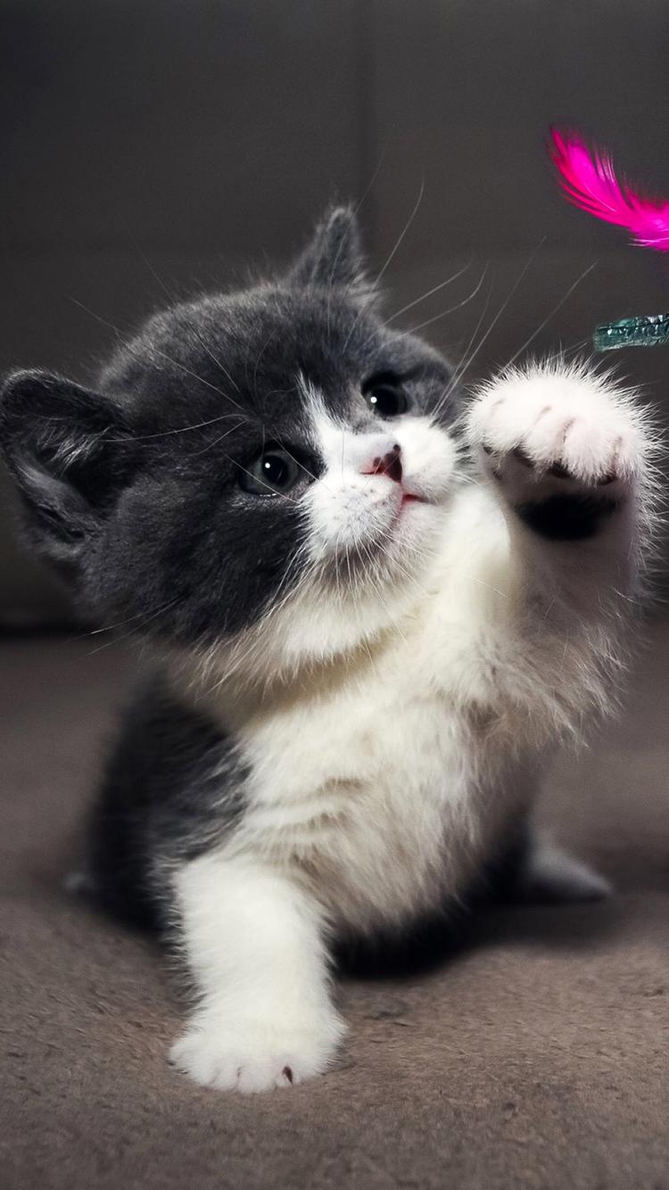 小猫 动物 萌 苹果手机高清壁纸 750x1334 - 足球分析