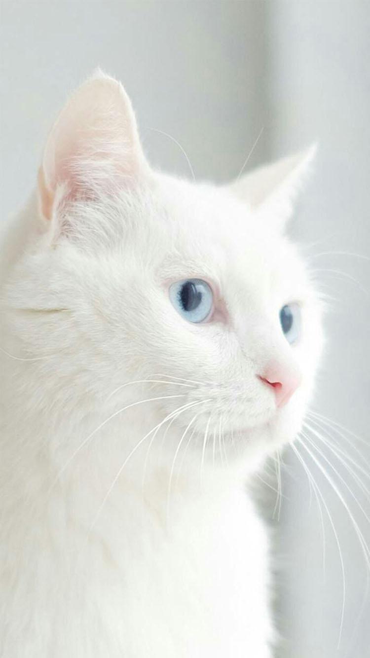 猫咪 小猫 白色 苹果手机高清壁纸 750x1334 - 足球
