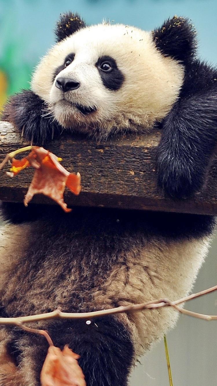 可爱 卖萌 熊猫 树叶 苹果手机高清壁纸 750x1334
