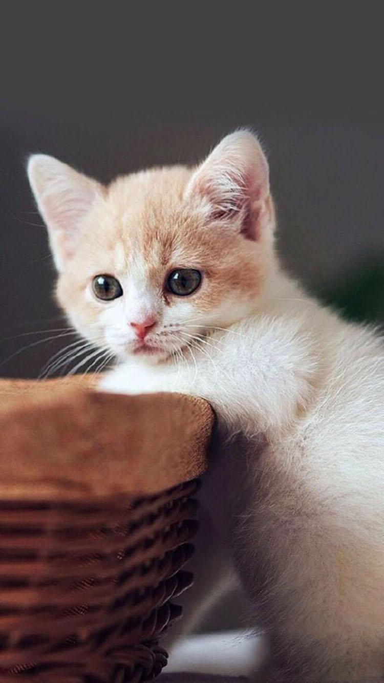 超萌可爱小猫咪 苹果手机高清壁纸 750x1334 - 足球