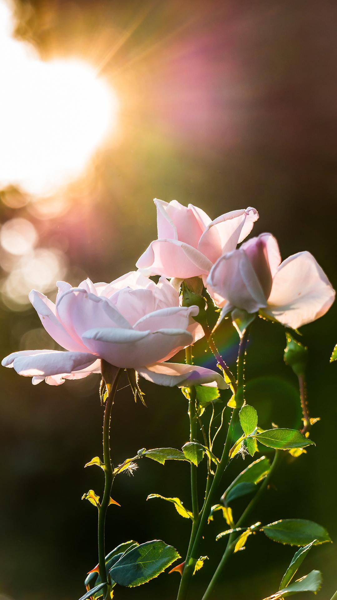 粉色玫瑰花 鲜花 阳光 苹果手机高清壁纸 1080x1920