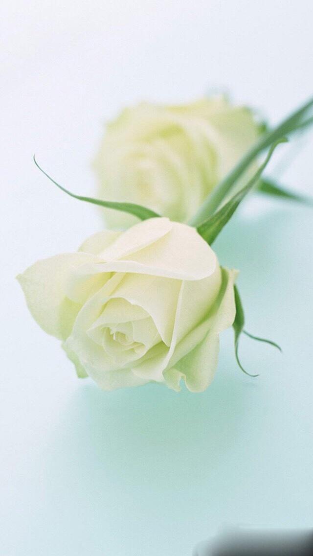 白玫瑰 植物 白色 花朵 苹果手机高清壁纸 640x1136