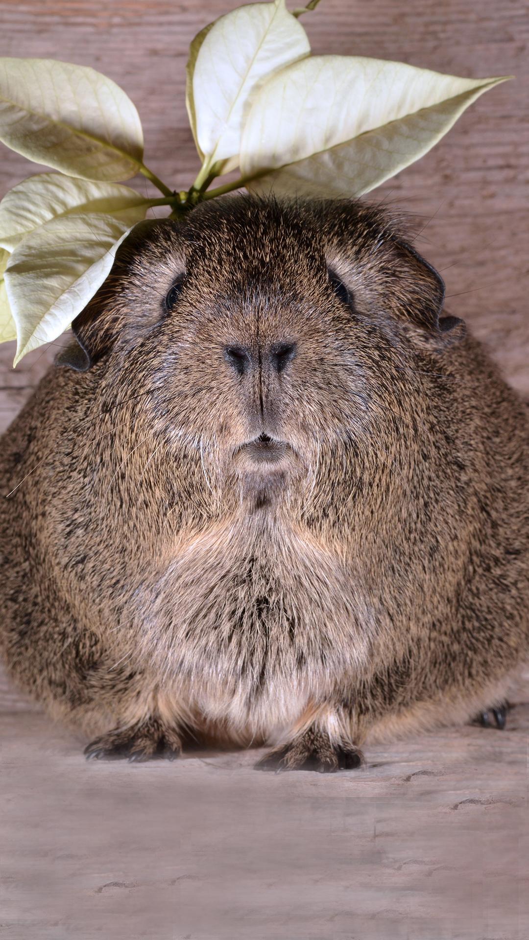 豚鼠 大型鼠科动物 呆萌 苹果手机高清壁纸 1080x1920