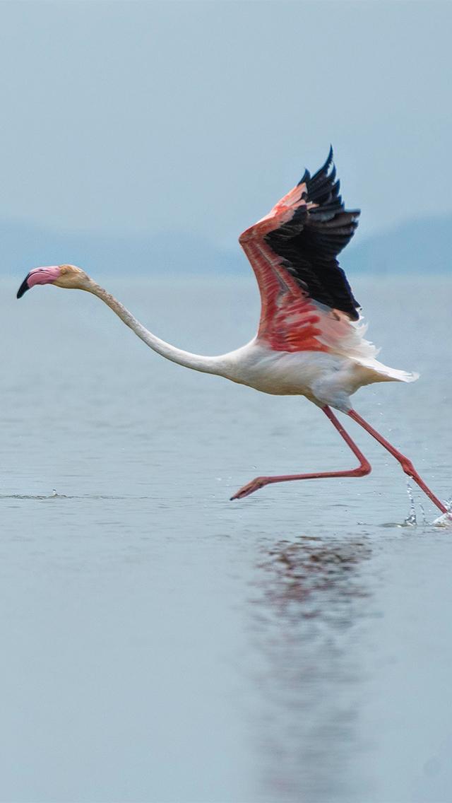 湖面 仙鹤 奔跑 红色羽毛 苹果手机高清壁纸 640x1136