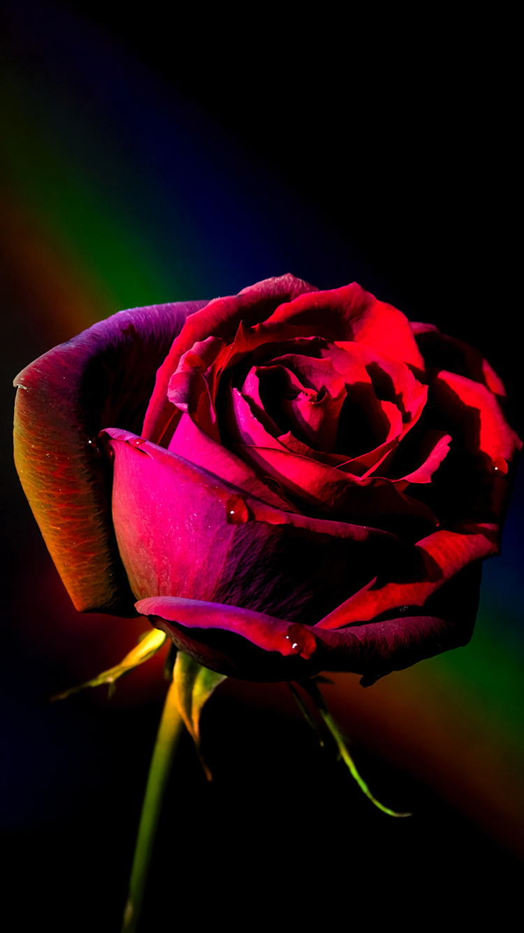 玫瑰 花苞 鮮花 花瓣 蘋果手機高清壁紙 750x1334