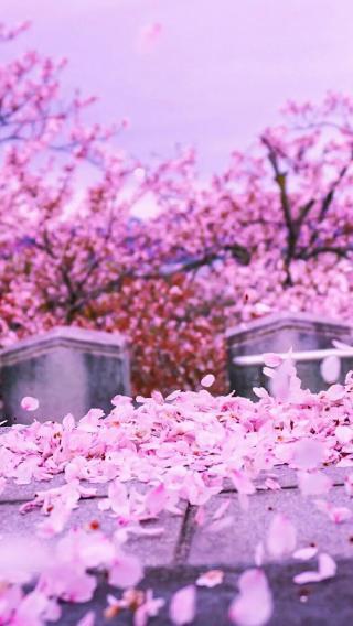 粉红 樱花 街道