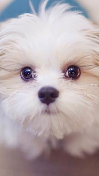 一只白色超萌的汪星人 大眼睛