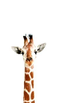 白色背景 长颈鹿