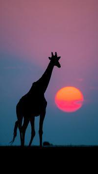 落日 夕阳 长颈鹿 动物