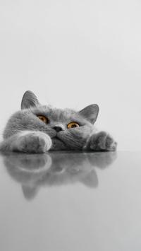 小猫 猫咪 灰色 肥猫