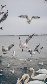 天鹅 海鸥 大海 动物