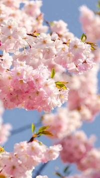 粉嫩可爱的桃花树 唯美