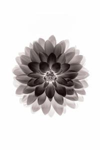 绽放 鲜花 盛开 黑色