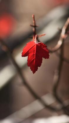 枫叶 红色 植物 树干