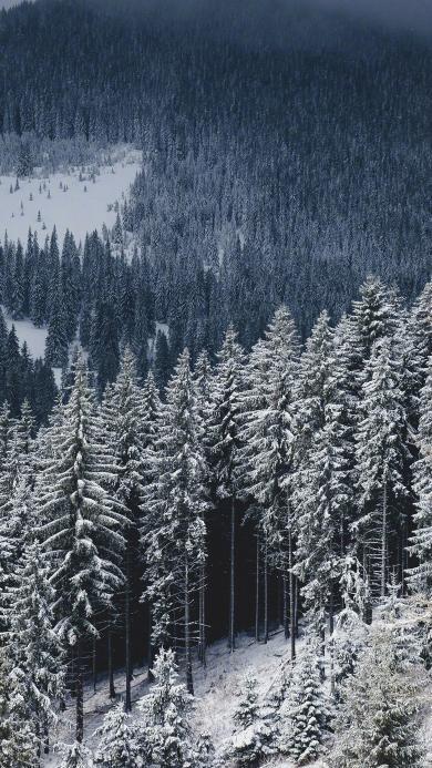 雪 松林 山 冬季 雪松 自然 美