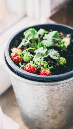小草莓盆栽 结果 可爱