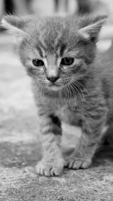 猫咪 可爱 宠物 灰猫 小奶猫