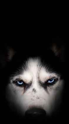 汪星人 哈士奇 蓝色眼睛