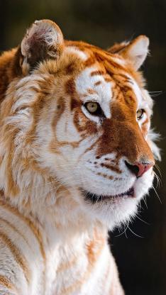 老虎 动物 白色 凝视