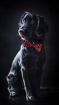 黑狗 动物 蝴蝶结 可爱