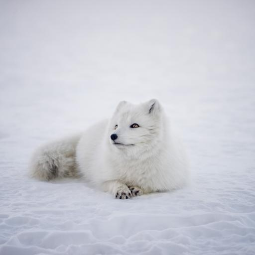 雪狐 狐狸 白色 野生 雪地