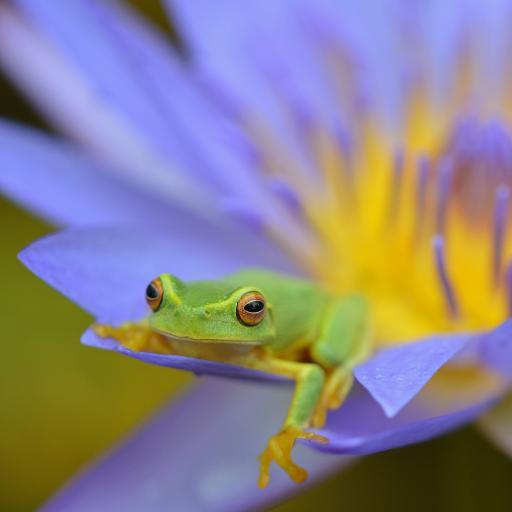 树蛙 青蛙 两栖动物 睡莲 莲花
