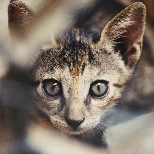 宠物猫 喵星人 竖耳朵 大眼睛