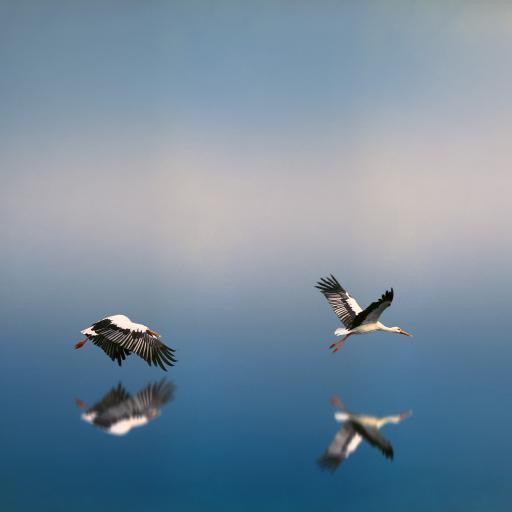 鸟 飞行 翅膀 水面 蓝色