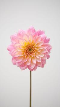 鲜花 粉色 花朵 花瓣 盛开 唯美