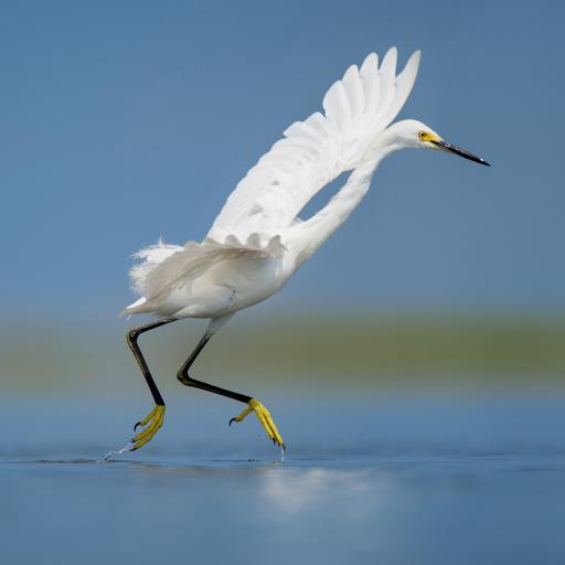 白鹭 鸟科动物 奔跑 黄色脚蹼