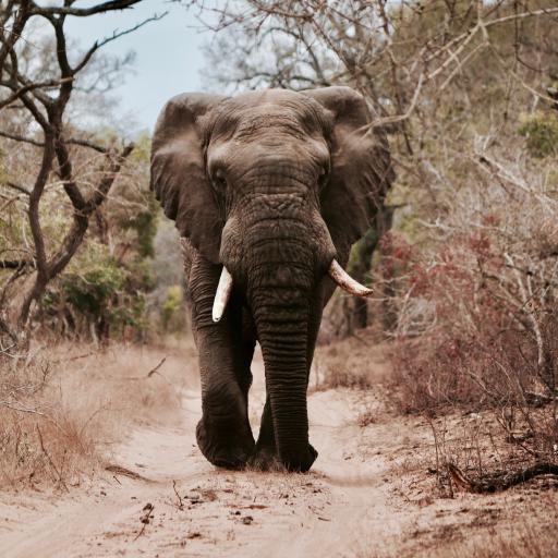 大象 野生 热带 长鼻 非洲