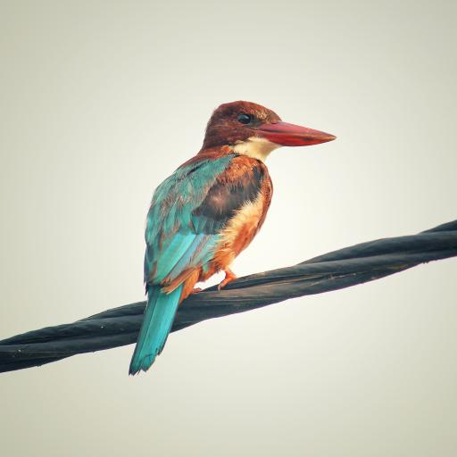 绳索 小鸟 彩色羽毛 漂亮