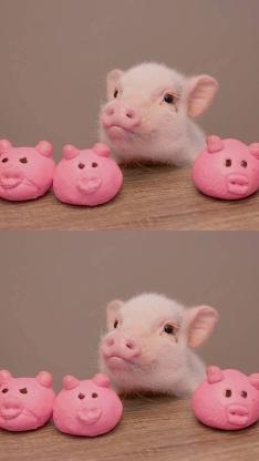 宠物猪 迷你小香猪 粉色猪头包子