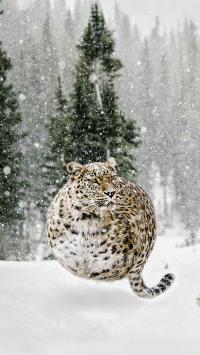 肥胖 豹 球 可爱 雪地