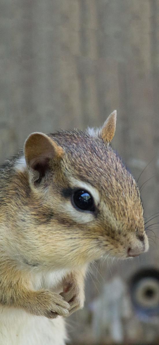 小松鼠 野生 呆萌 食松果