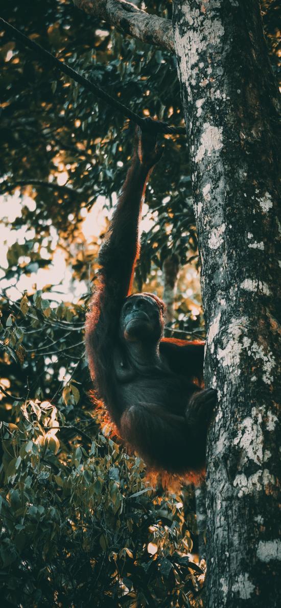 猩猩 树上 户外 爬行