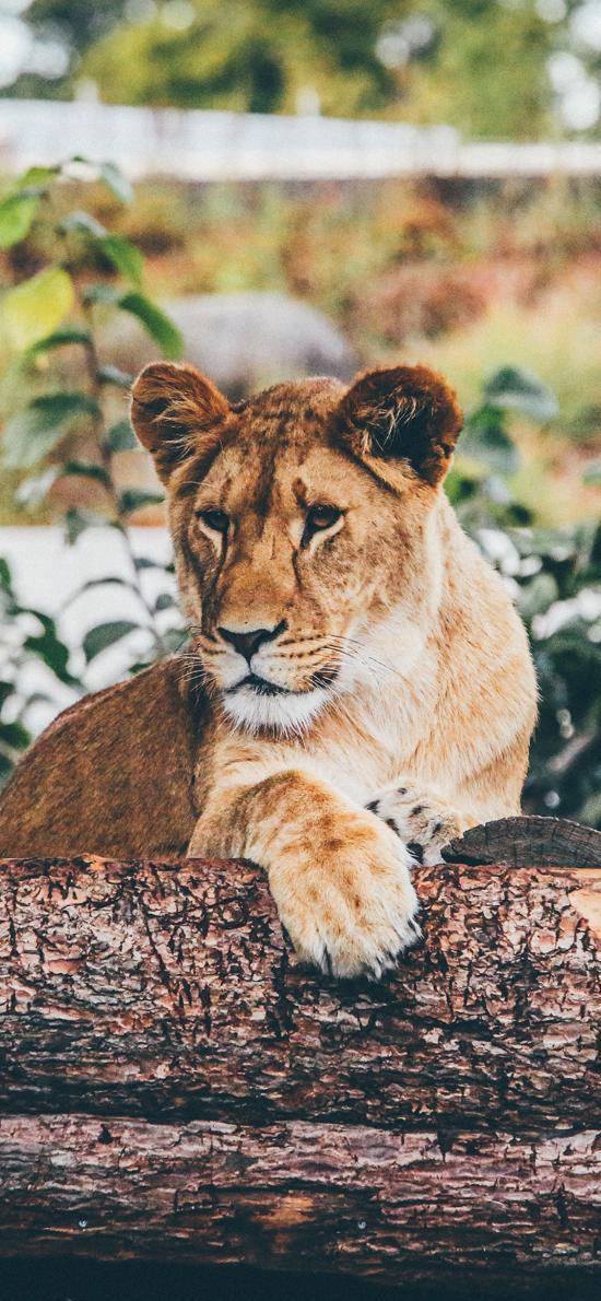 丛林之王 狮子 母狮 休息