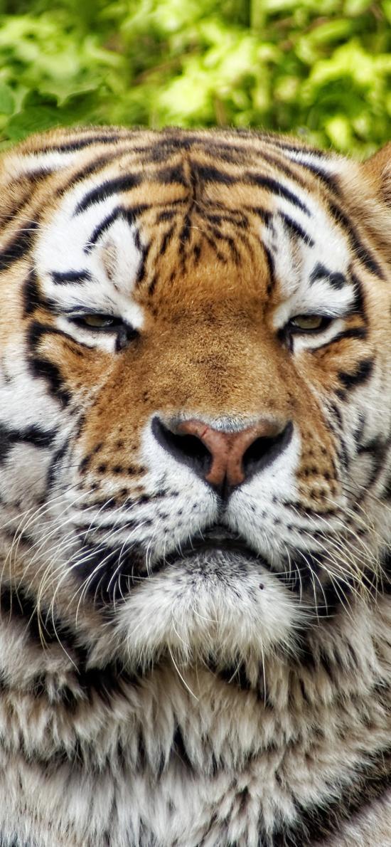 老虎 动物 猫科动物