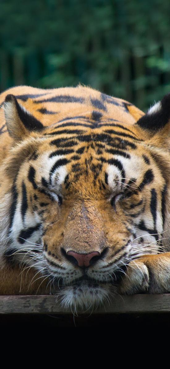 丛林之王 老虎 睡觉 食肉