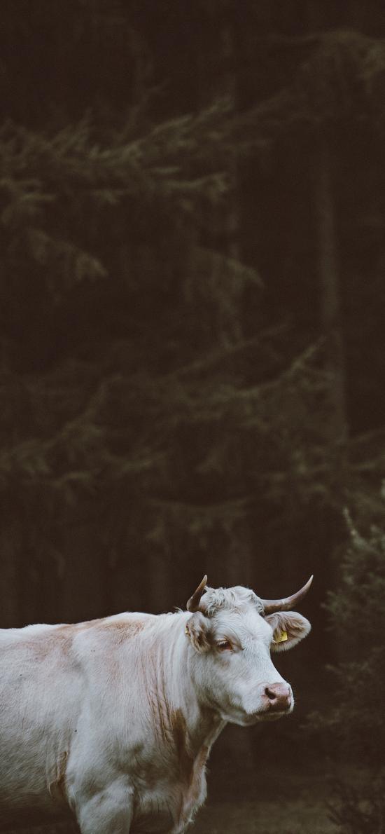 牛 白色 牛角 呆萌