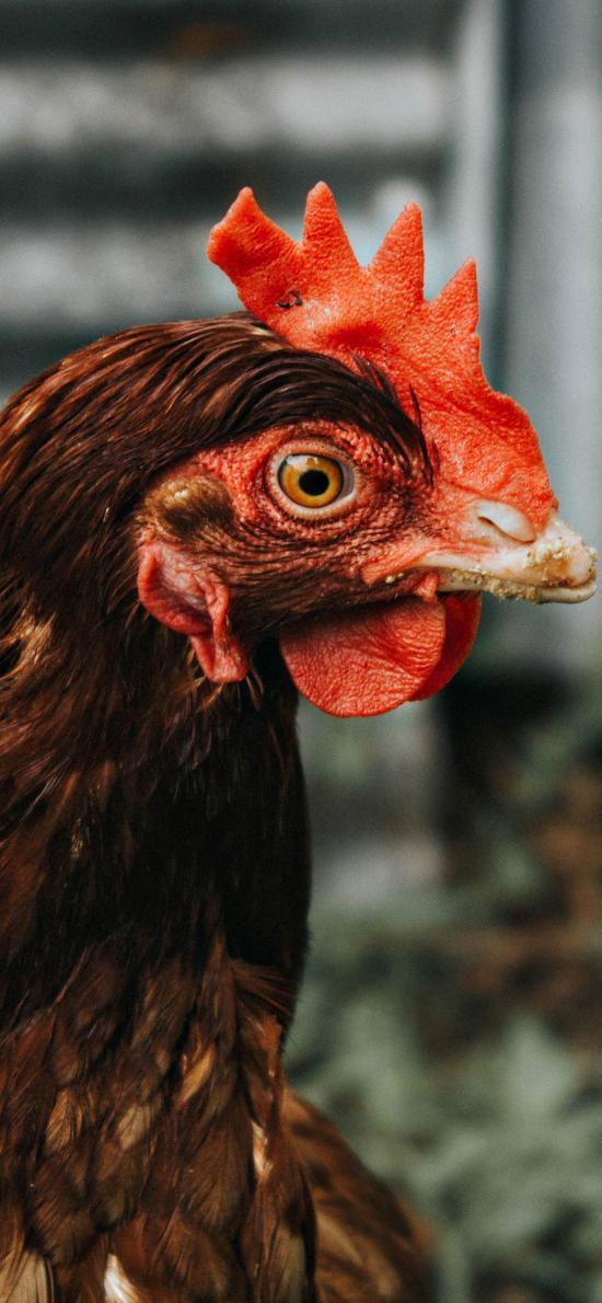 家禽 母鸡 红色鸡冠
