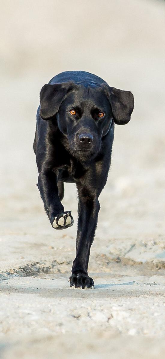 宠物 黑狗 行走
