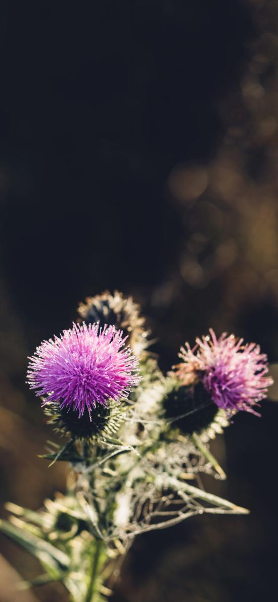 蒲公英花 紫色 毛茸茸