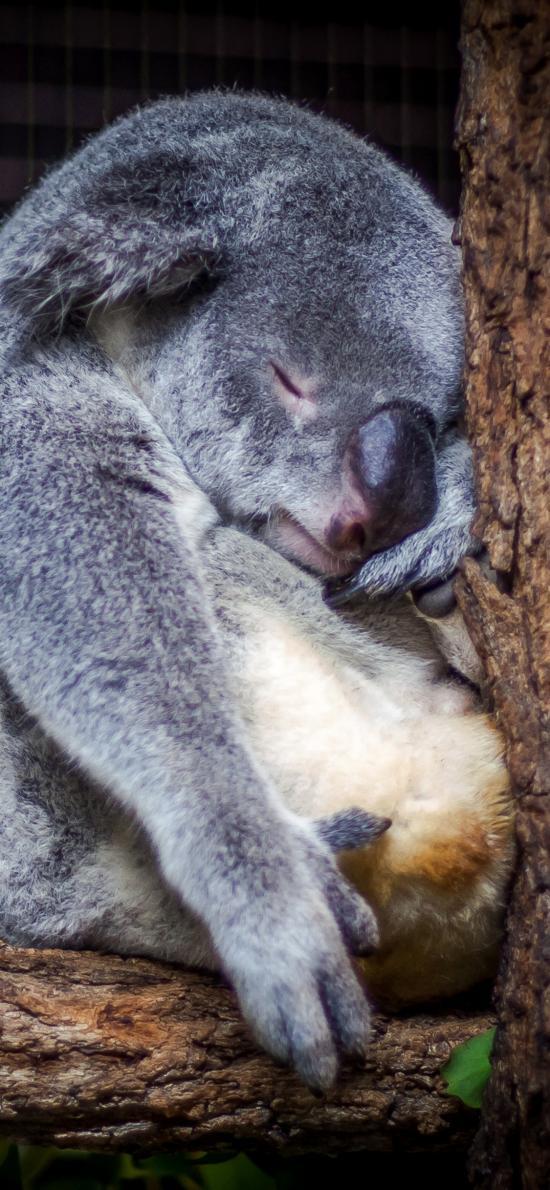 考拉 动物 树枝 睡眠