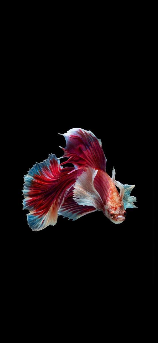 孔雀鱼 动物 游动 尾巴 红色