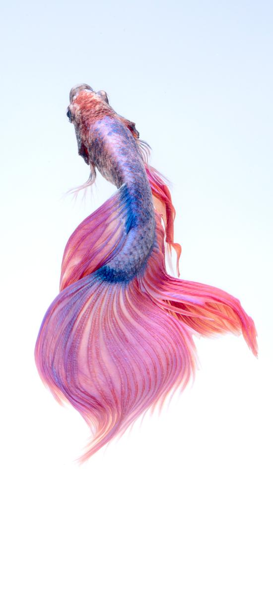 斗鱼 尾巴 粉色 美丽 唯美