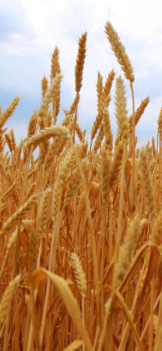 麦田 水稻 麦穗 丰收 秋天 天空