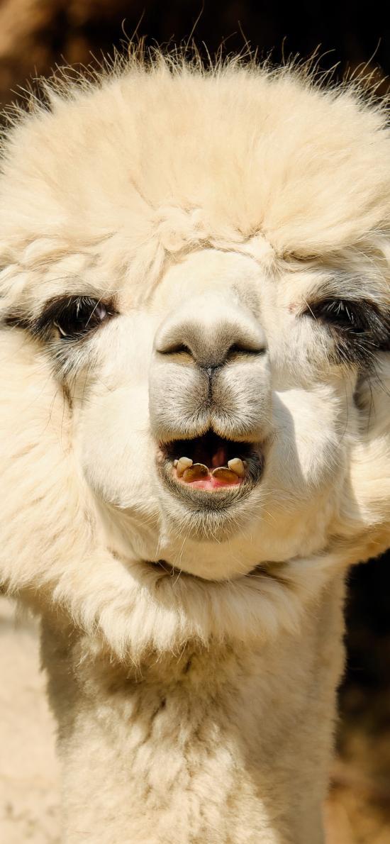 羊驼 草泥马 动物 皮按摩